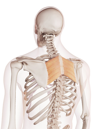 43307701 - medically accurate muscle illustration of the rhomboid major